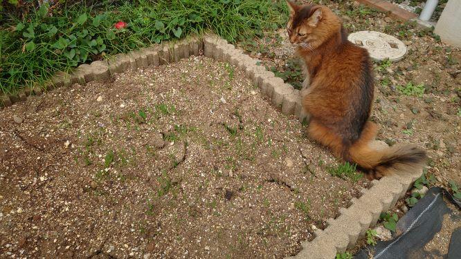 猫草の森、発芽