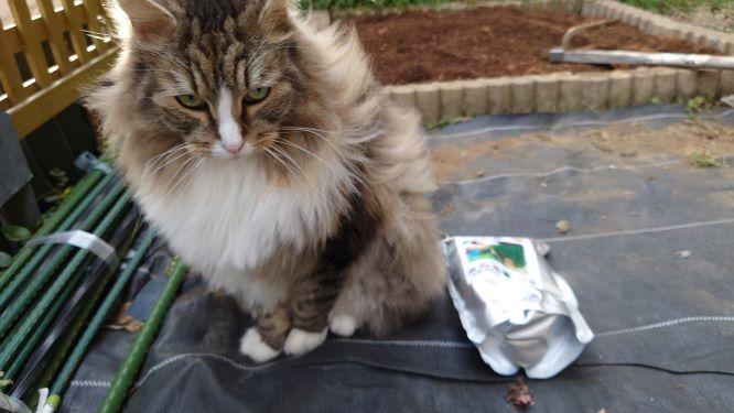 整備中の花壇の周りをうろつく猫、トト