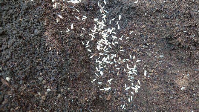 猫草の種まき