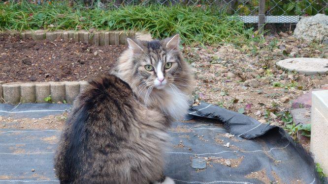 花壇の整備を見守る猫、トト