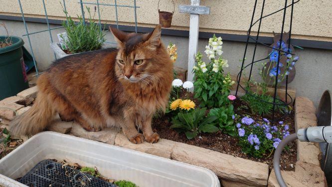 花壇の整備を見守る猫、チー