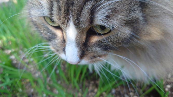猫草を試食する猫、トト