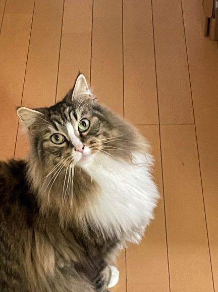 長毛種の猫、シャンプー前の写真