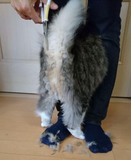 長毛種の猫のお尻の毛のカット