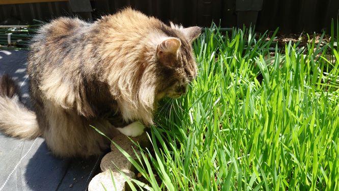 猫草の森で猫草を食べる猫、ノルウェージャンフォレストキャットのトト