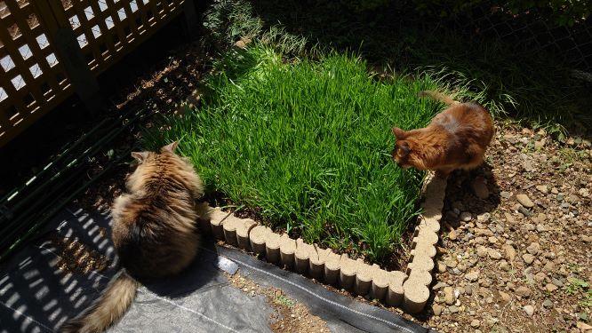 猫草の森で猫草を食べる猫、ノルウェージャンフォレストキャットのトトとソマリのチー