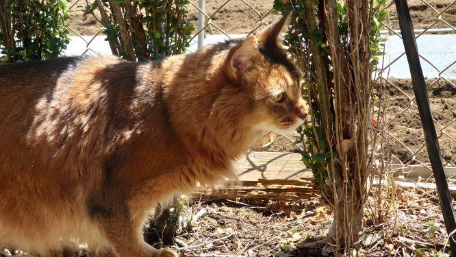 庭のパトロール中の猫、ソマリのチー