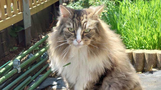 食べ残した猫草がエプロンについている猫、ノルウェージャンフォレストキャットのトト