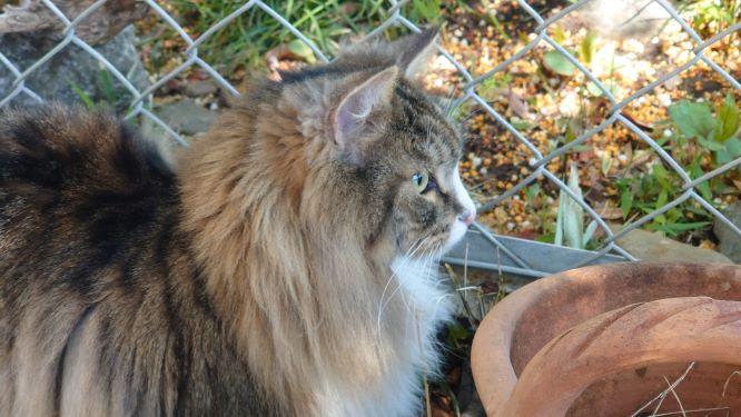 お隣の畑が気になる猫、ノルウェージャンフォレストキャットのトト