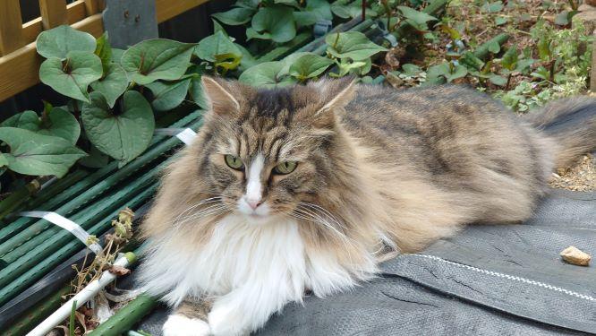 庭でのんびりリラックスする猫、ノルウェージャンフォレストキャットのトト