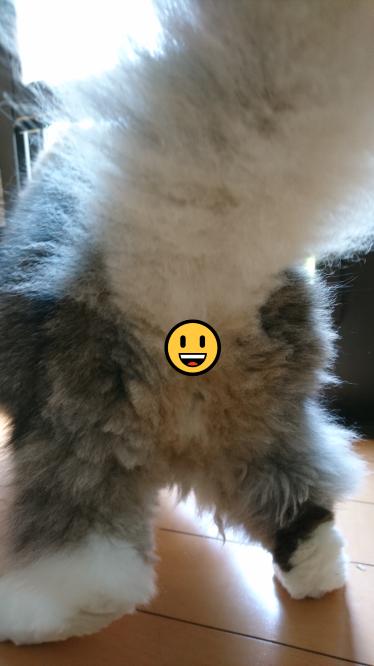 お尻の毛のカットが終わった長毛種の猫、ノルウェージャンフォレストキャット