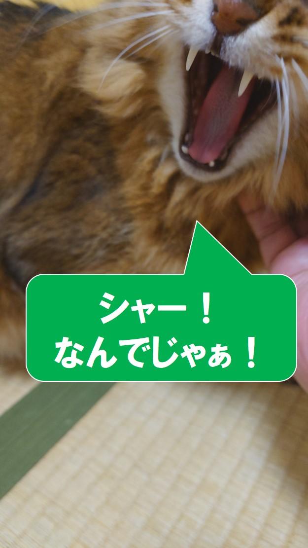 怒っている猫、ソマリ