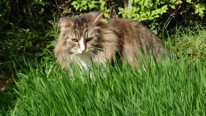 外で遊ぶ猫、ノルウェージャンフォレストキャット