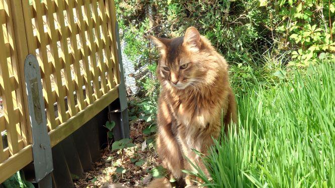 外で遊ぶ猫、ソマリ