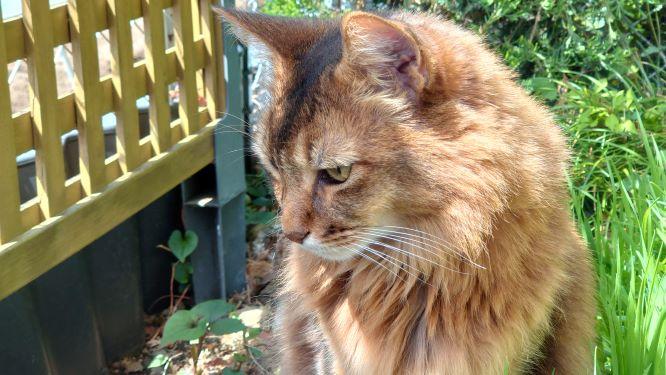 ソマリの横顔、猫