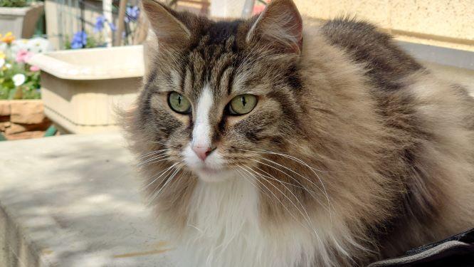 ノルウェージャンフォレストキャットの横顔、猫