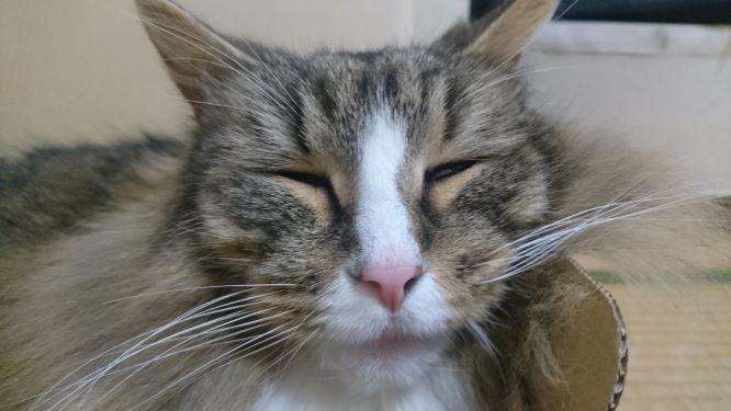 おじいちゃんのような猫、ノルウェージャンフォレストキャット