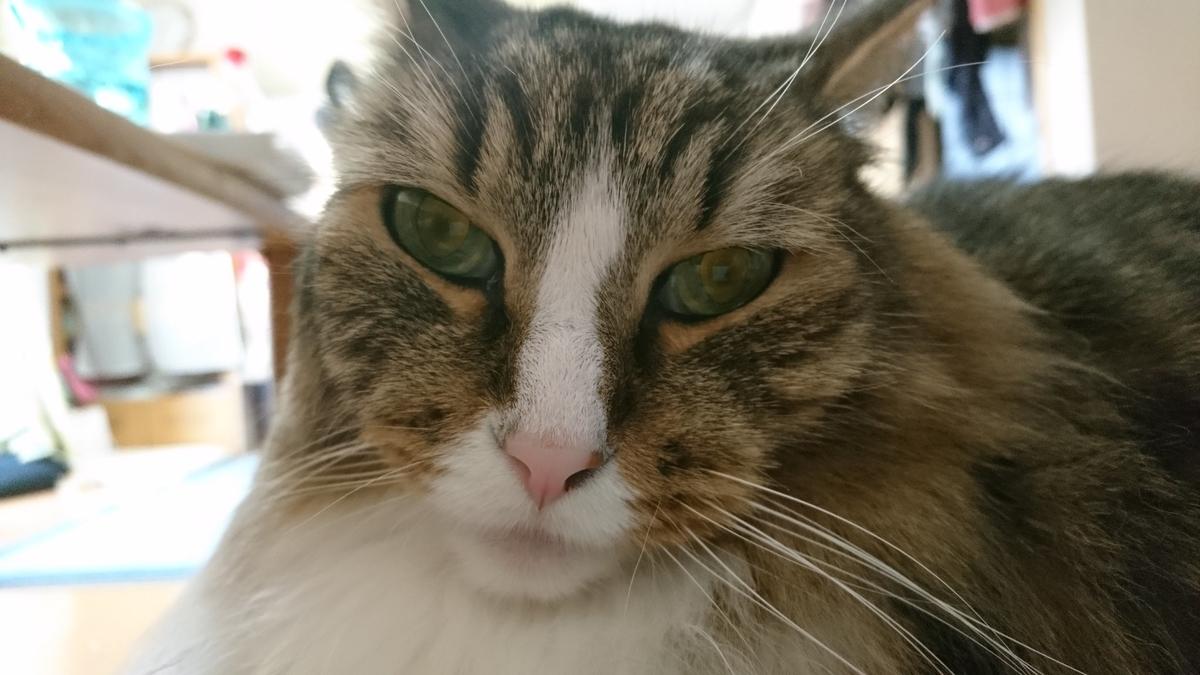 お疲れの猫、まるで休日のお父さんのよう、ノルウェージャンフォレストキャット