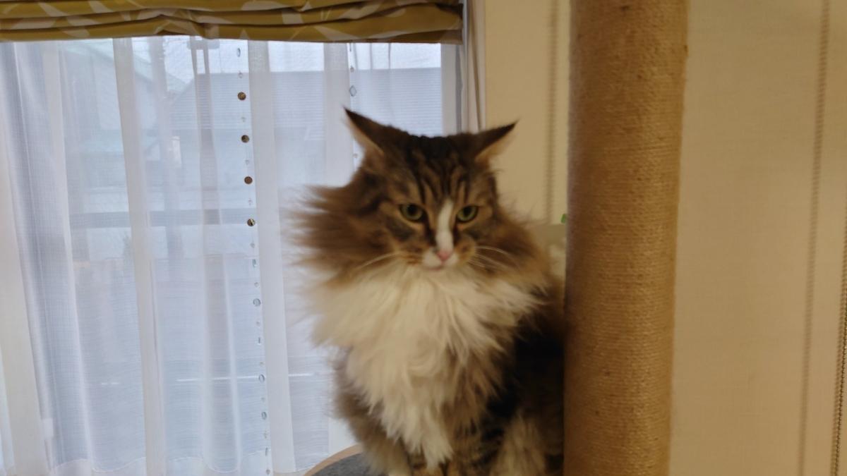 サリーちゃんのパパのような猫、ノルウェージャンフォレストキャット