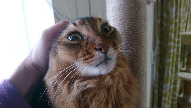 オールバックの猫、ソマリ