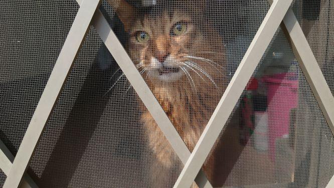 焦っている顔の猫、そまり
