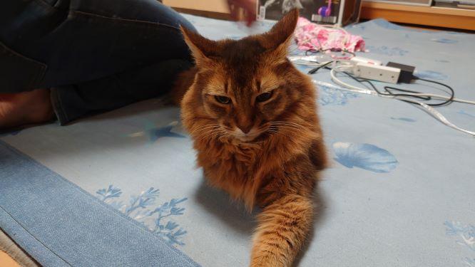 母さんの隣でくつろぐ猫、ソマリのチー