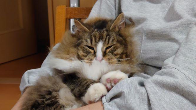 母さんの膝の上でうとうとする猫、ノルウェージャンフォレストキャットのトト