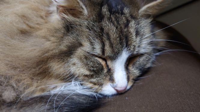 父さんと一緒に寝る猫、ノルウェージャンフォレストキャットのトト