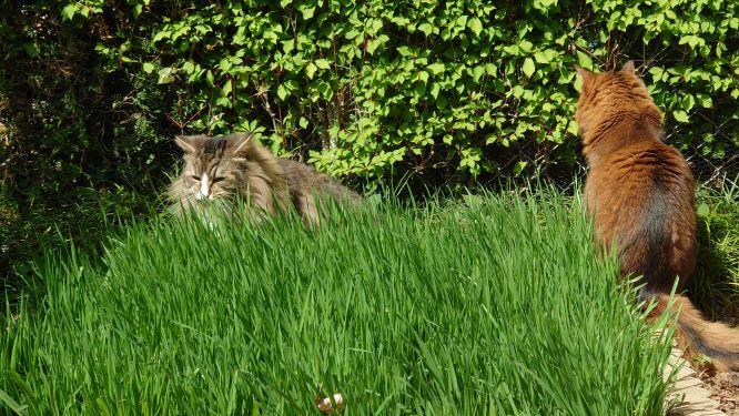 ソマリもノルウェージャンフォレストキャットも大満足の猫草の森