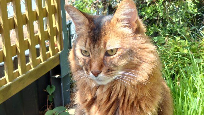 精悍な顔つきの猫、ソマリのチー