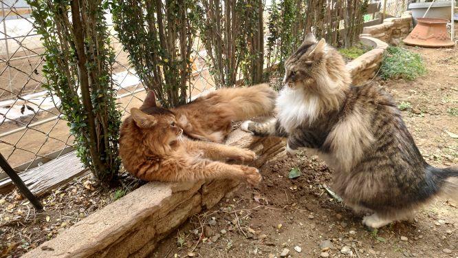 喧嘩する猫、ソマリとノルウェージャンフォレストキャット