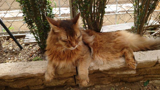 一人取り残される猫のソマリ、チー