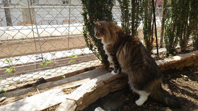 隣の畑が気になる猫、ノルウェージャンフォレストキャットのトト