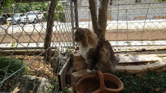 お隣のお庭もパトロールする猫、ノルウェージャンフォレストキャットのトト