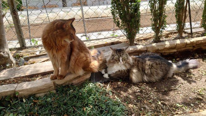 ソマリのチーとノルウェージャンフォレストキャットのトト、お庭で仲良く