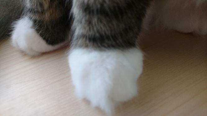 かわいい猫のお手々、ノルウェージャンフォレストキャットのトト