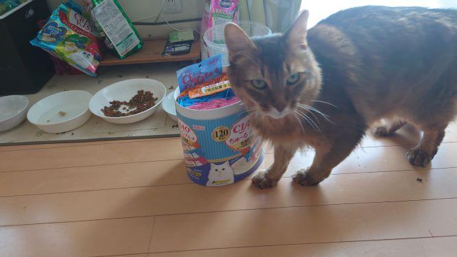 チャオ チュールを欲しがる猫、ソマリのチー