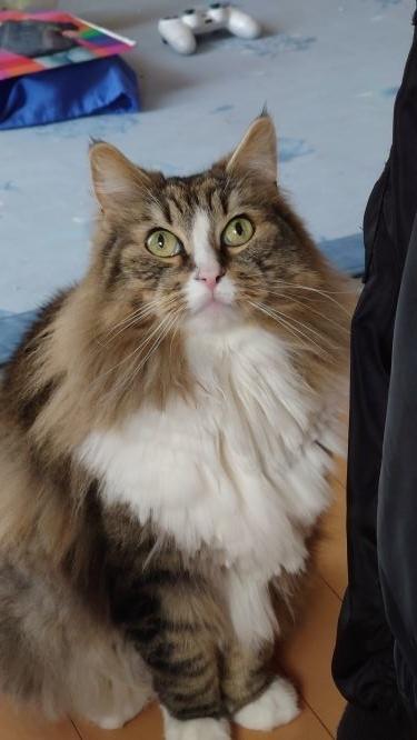なんだかご機嫌の悪い猫、ノルウェージャンフォレストキャットのトト