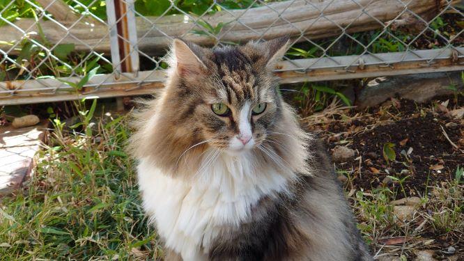 お庭でのお散歩を楽しむ猫、ノルウェージャンフォレストキャットのトト