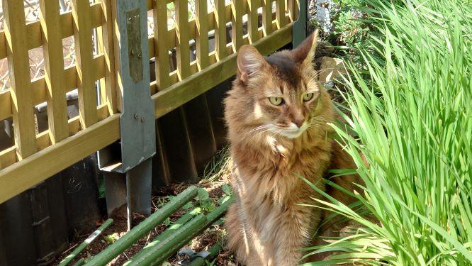 お庭でのお散歩を楽しむ猫、ソマリのチー