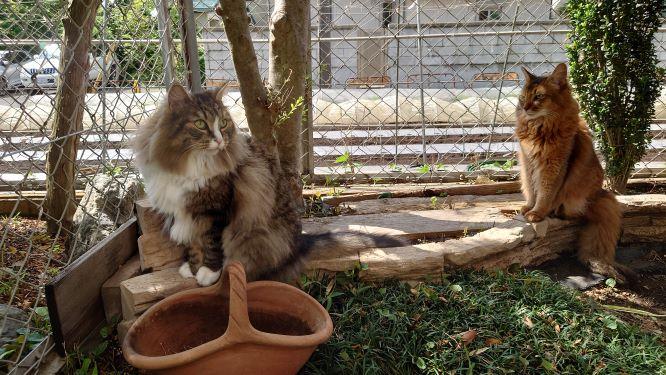 お庭でのお散歩を楽しむ猫、ノルウェージャンフォレストキャットのトトとソマリのチー
