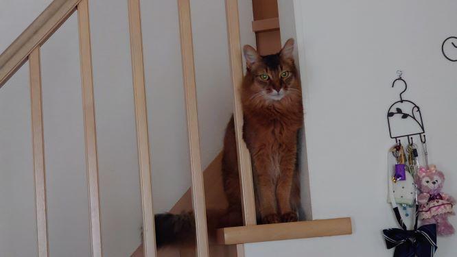 ソマリのチー。階段からご挨拶