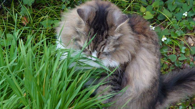 ノルウェージャンフォレストキャット、猫草の森でつまみ食い