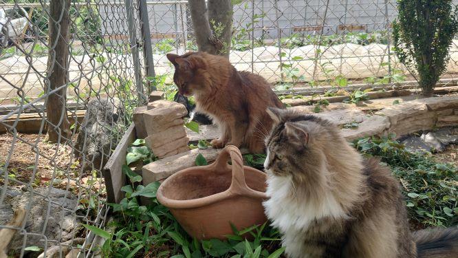 狛猫のノルウェージャンフォレストキャットとソマリ