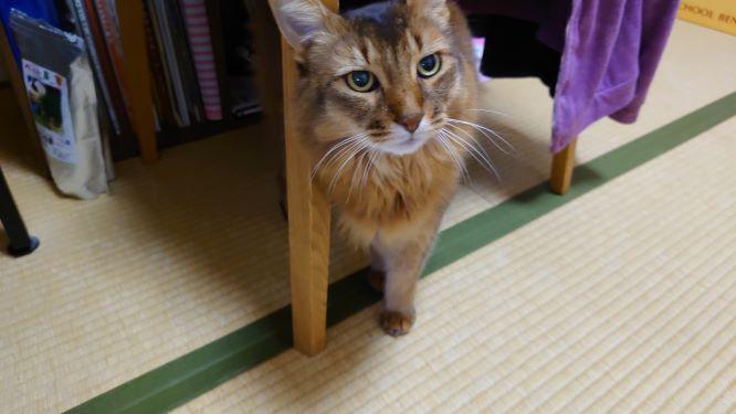 仕事を監視する猫、ソマリのチー