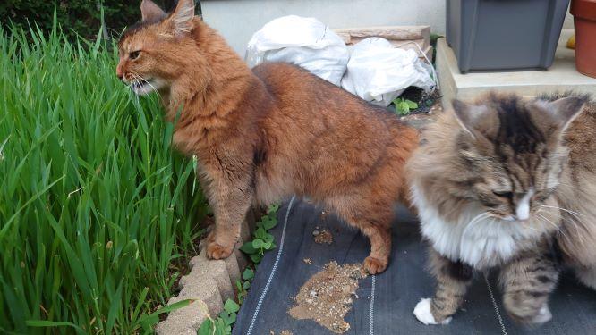 雨が止んだので急いでお散歩する猫、ノルウェージャンフォレストキャットとソマリ