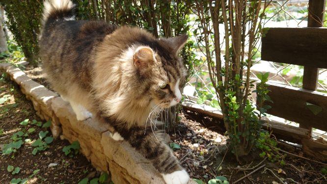 庭を探索する猫、ノルウェージャンフォレストキャットのトト