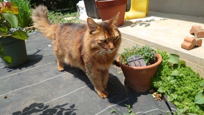 庭を探索する猫、ソマリのチー