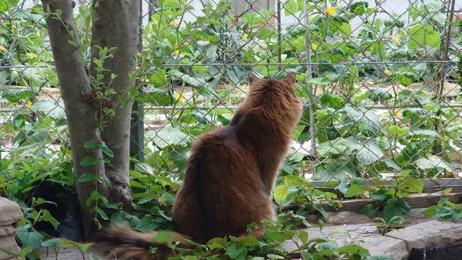 畑を見つめる猫、ソマリのチー
