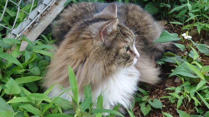 日陰で休憩する猫、ノルウェージャンフォレストキャットのトト